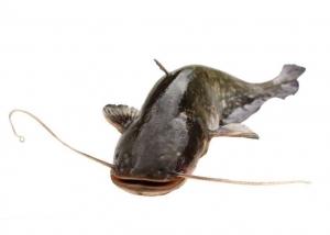 防城港鲶鱼
